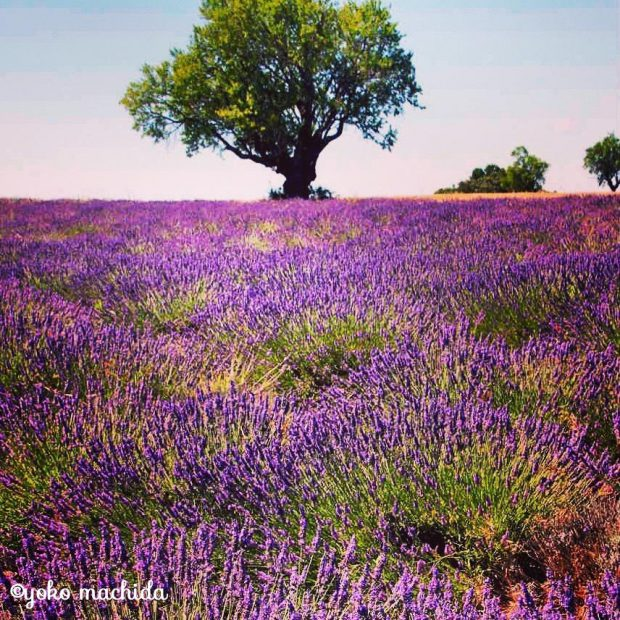 france-lavender-01